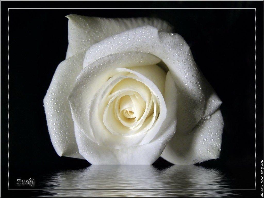 Rose Et Blanche : Rose blanche